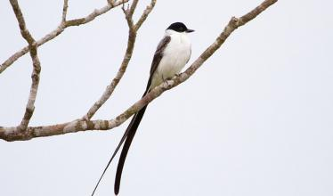 Long-tailed bird