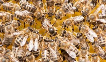 worker bees surrounding queen
