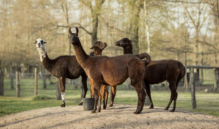 "Winter, a llama, pictured in center with her ""friends"" on a Belgian countryside farm"