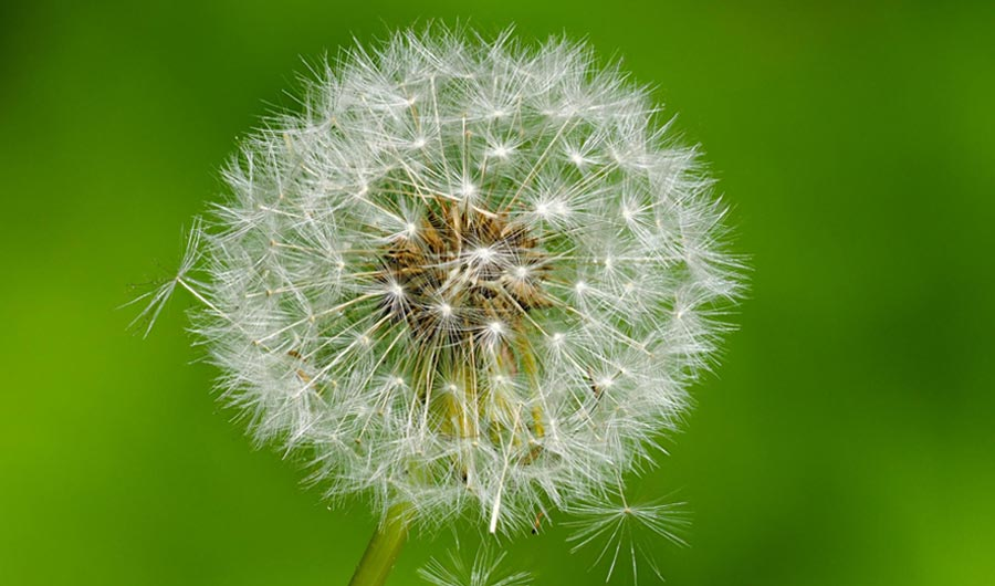 How Dandelion Seeds Stay Afloat for So Long