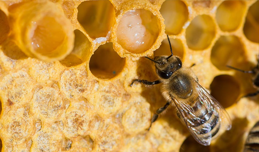 Bee in hive