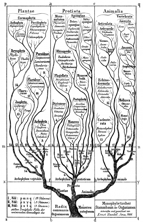 Early phylogenetic tree by Ernst Haeckel, 1866.