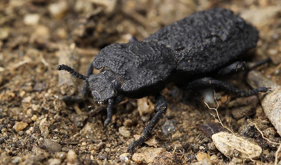 diabolical ironclad beetles - photo #1