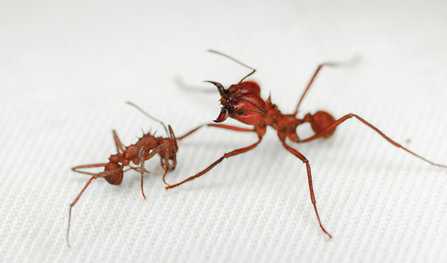 An Acromyrmex echinatior worker ant (left) with an Atta cephalotes soldier ant (right).