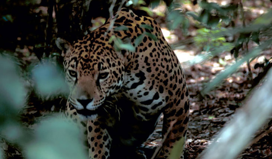 A jaguar looking to the side of the camera, with tight focus, amidst blurry brush and tree branches