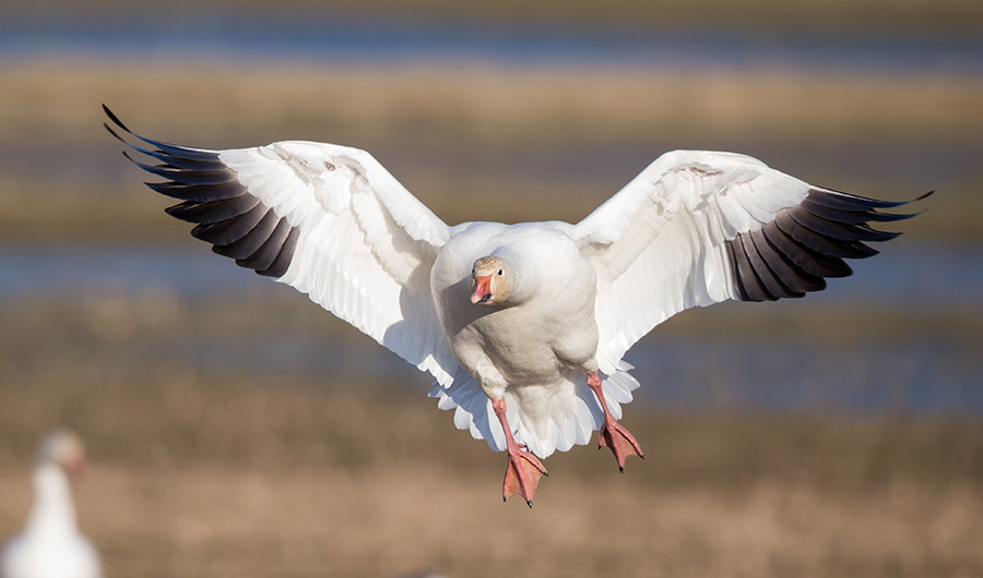 Snow Geese Got Fat Quick During the Pandemic