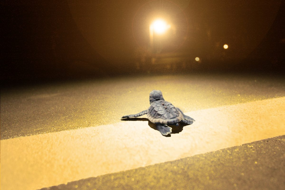 A baby turtle at night
