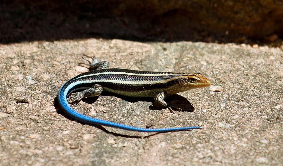 do stripes make lizards look slow inside science