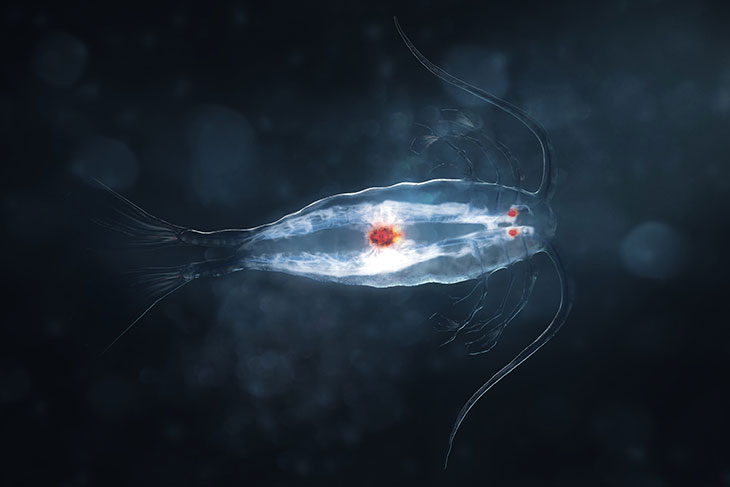 Tiny marine copepods are ubiquitous in the world's oceans and play an important role in food webs.