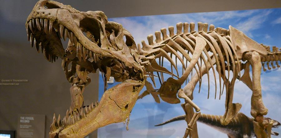 A tyrannosaur skeleton displayed at the Natural History Museum of Utah in Salt Lake City.