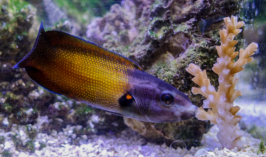 Unique feeding: Intrepid reef fish enjoys perilous feast