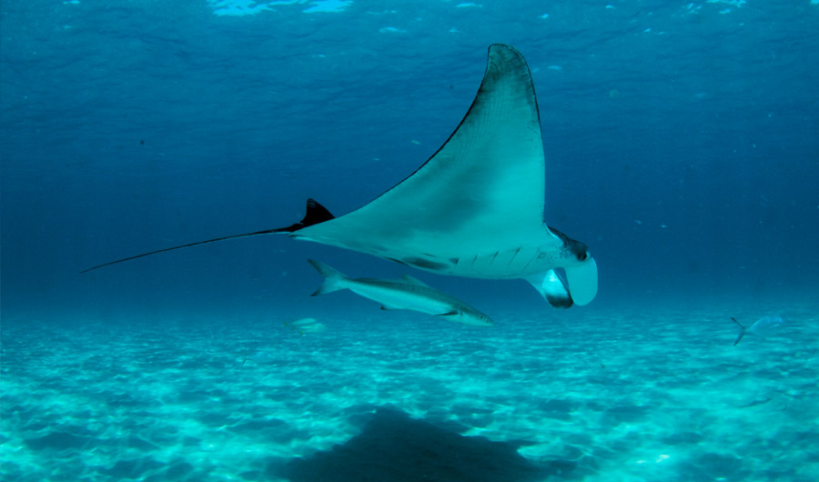 Manta Rays Filter Water in Way Never Previously Seen  56f4f6f158