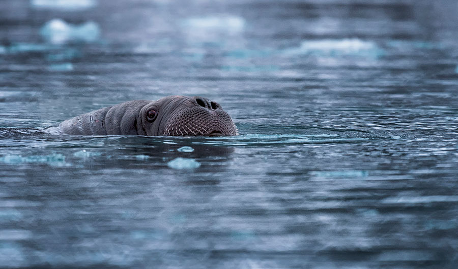 once overlooked walruses turn out to be champion divers inside