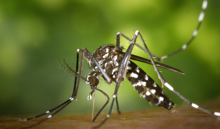 Feed Mosquitoes Sugar To Keep The Bites Away Inside Science