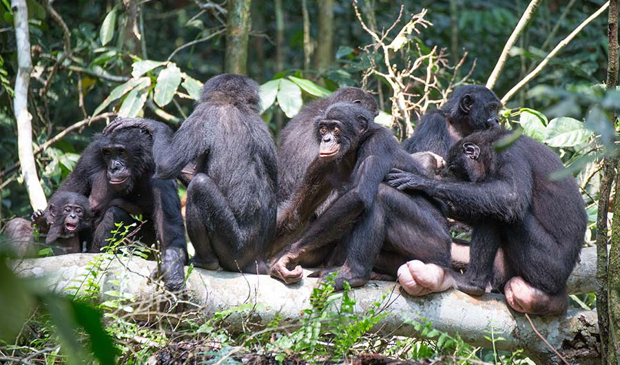 Bonobo Matriarchs Lead The Way Inside Science