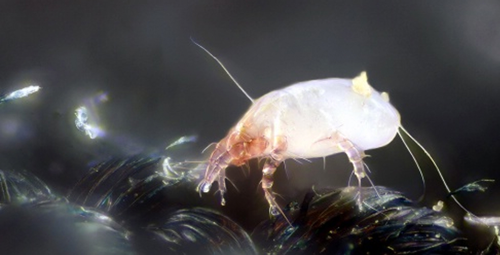 The Social Lives Of Dust Mites Inside Science