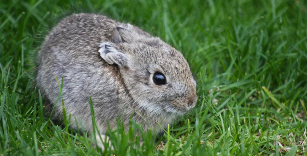 pygmy rabbit ile ilgili görsel sonucu