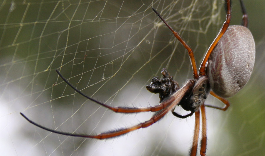 Golden orb spider in a Sydney garden