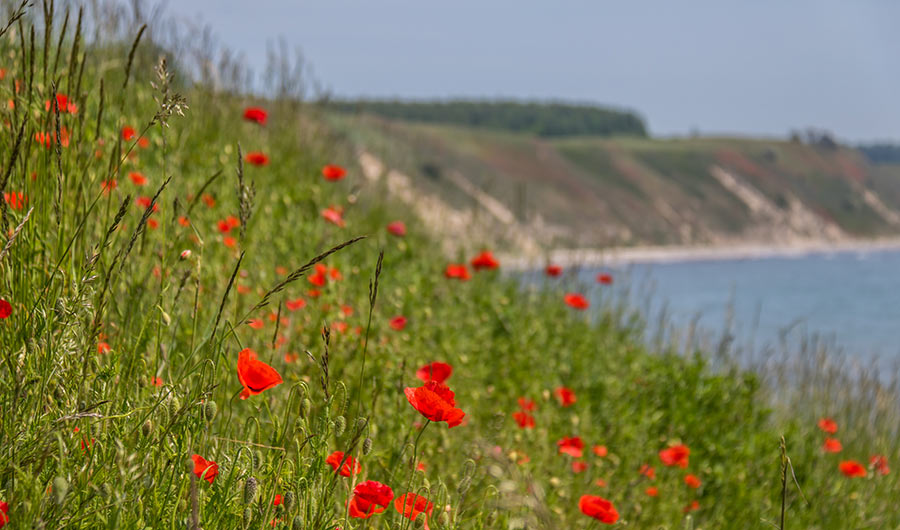 Field of red poppies by the seaside