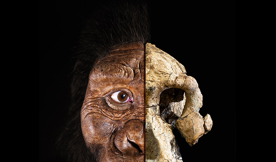 Composite image shows skull on right and the reconstructed face of a human ancestor on the left.
