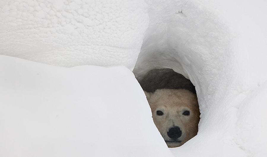 Polar bear looking out from inside a snowy den