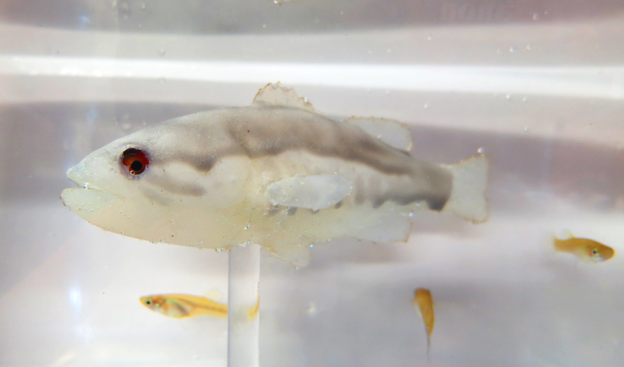 Image shows a robotic fish mid-frame, with three mosquitofish swimming nearby.