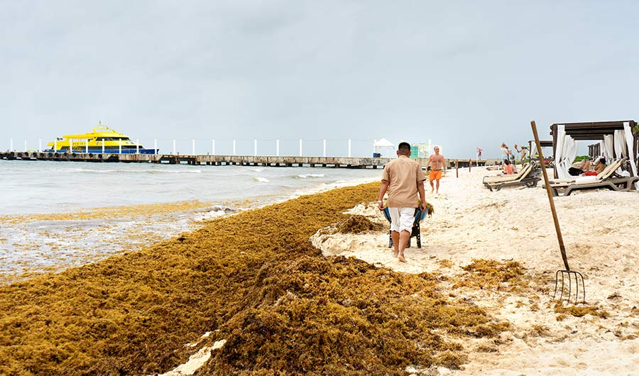 Sandy beach with cabanas, sunbathers, and piles of sargassum, as a man moves a wheelbarrow full of the seaweed.