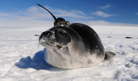 A low angle shot of seal atop the sea ice. It has been equipped with a sensor.
