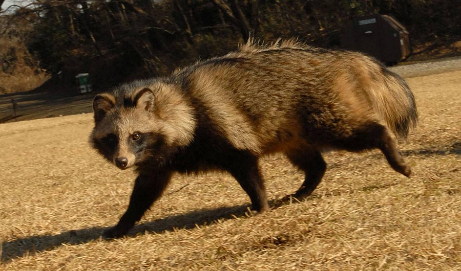 Image of raccoon dog, also known as a tanuki, on a brown grass field, looking at the camera