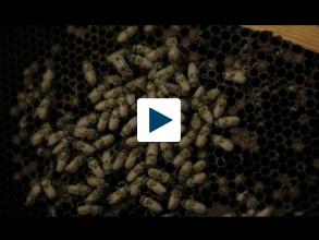 Are Bees Becoming Extinct?