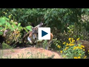 Kangaroo Tail Acts Like An Extra Leg