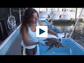 Saving Endangered Sea Turtles