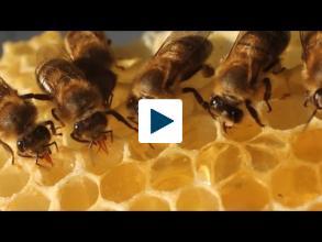 The Bee Dance
