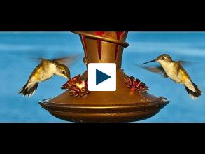 Why Hummingbirds Have A Sweet Tooth
