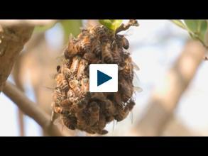 Taming Aggressive Bees