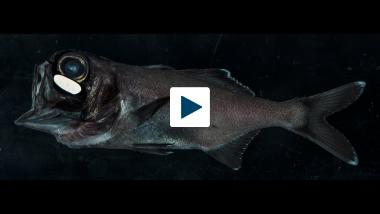 How Flashlight Fish Swim Together in the Dark