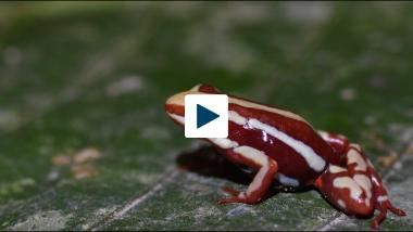 Why Don't Poison Frogs Poison Themselves?