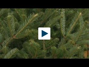 Science Behind the Best Christmas Trees