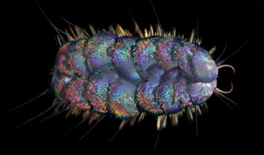New worm species with Jewel-Like Scales