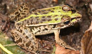 Dark-spotted frog