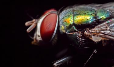 blowfly on black background