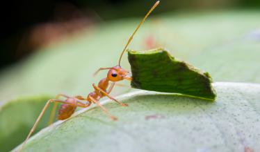 Acromyrmex leafcutter ant