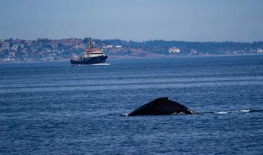 A whale's dorsal fin peeks out of the water, with a blue boat in the background.