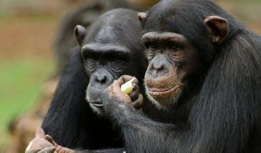 Two chimpanzees stand side-by-side, holding food.