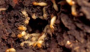 Image shows numerous termites gathered around a hole.