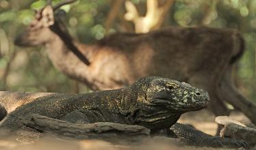 A Komodo dragon still, with a deer in the background.