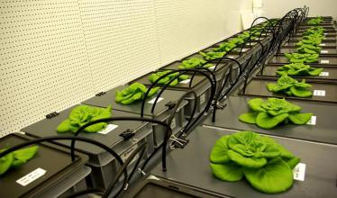 The photo shows more than 15 lettuce plants growing atop two rows of boxes with black tops, green leaves spreading out from the center, as tubing curls between the boxes.