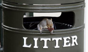 Squirrel pokes its head out from a green garbage can, carrying a morsel of food in its mouth.