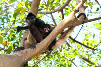 Black-handed spider monkeys (Ateles geoffroyi) are found throughout Central America.