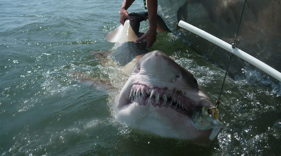 Researchers probe sand tiger sharks social networks inside science tigersharktop2g publicscrutiny Image collections
